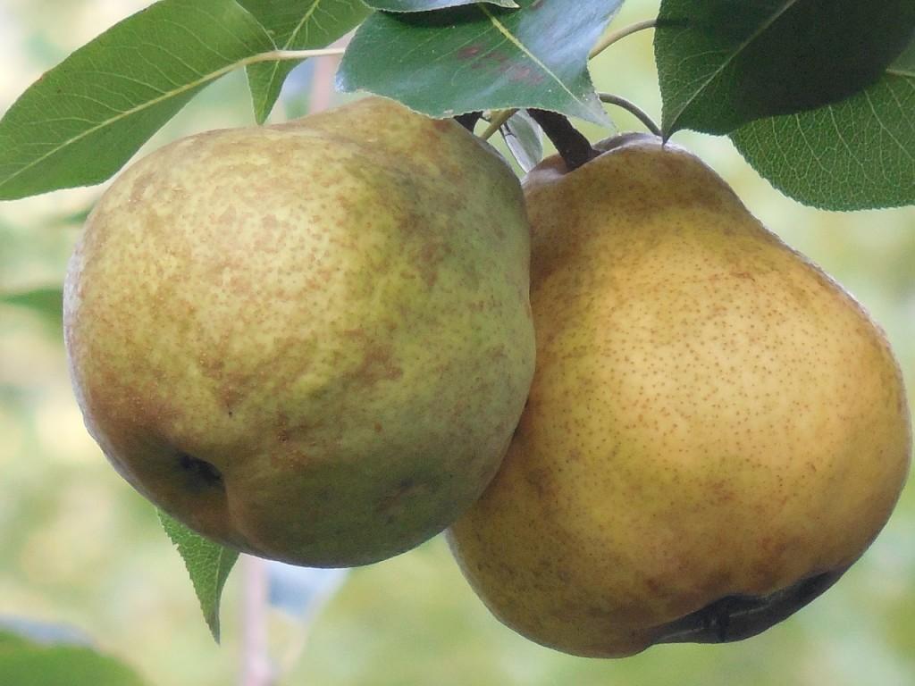 pears-927689_1280