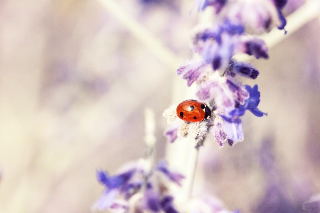 ladybug-676448_1280