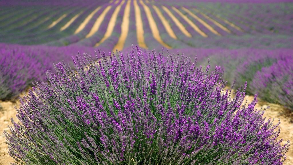 lavender-894919_1280