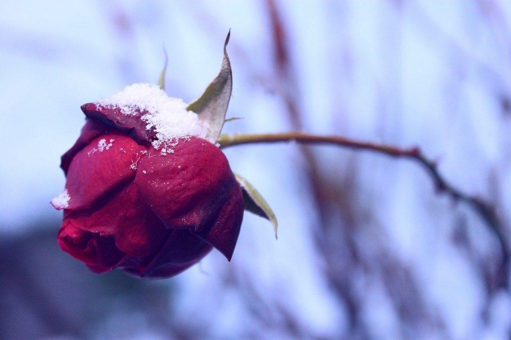 rose-1124770_1280