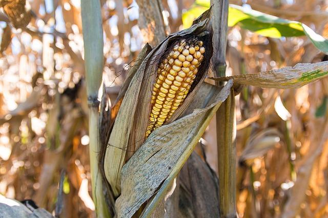 corn-1190956_640