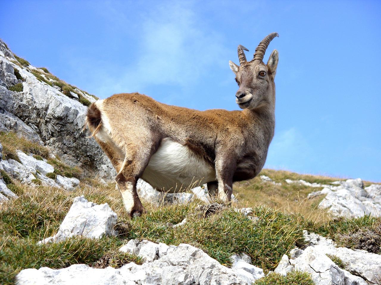 goat-940896_1280